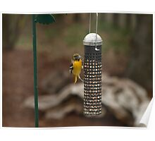 Nutty Baltimore Oriole Poster