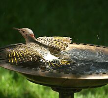 Flicker in the birdbath by rmks