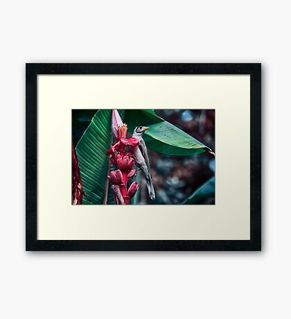 Australian Native Mynah Framed Print