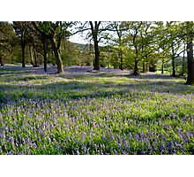 Bluebell Woods, Ilkley, Yorkshire Photographic Print
