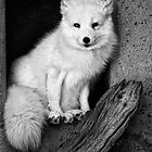 Arctic Fox by Kurt Golgart