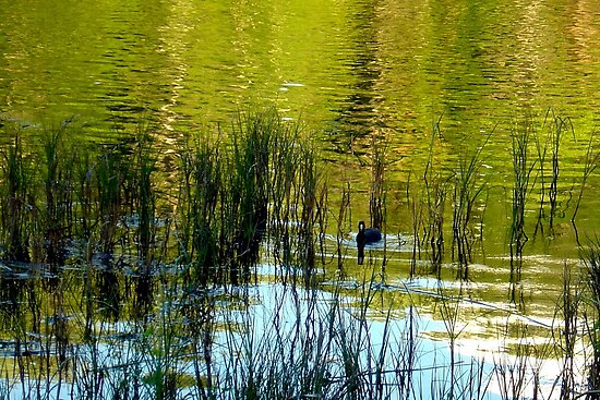 One Lonely Coot by AuntDot