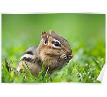 Eastern Chipmunk Poster