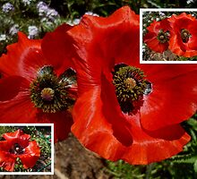 Flanders Poppy Collage by alycanon