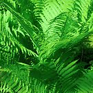 Fern Garden by peterrobinsonjr