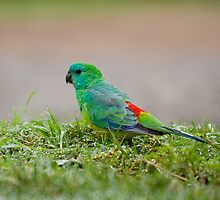 Red-rumped parrot  by houenying