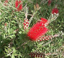 Barcelona Banksia o bottle brush by Sue Ballyn