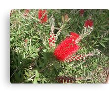 Barcelona Banksia o bottle brush Canvas Print