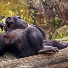 Lazy chimpanzee by Luke Kliman