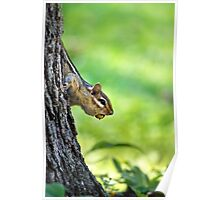 Eastern Chipmunk with Nut Poster