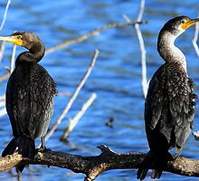 Cormorants by Larry Baker