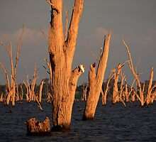 Tree Cementry - Lake Mulwala by Hans Kawitzki