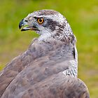 Goshawk by Margaret S Sweeny