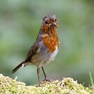 Ragged Robin by Dennis the Elder