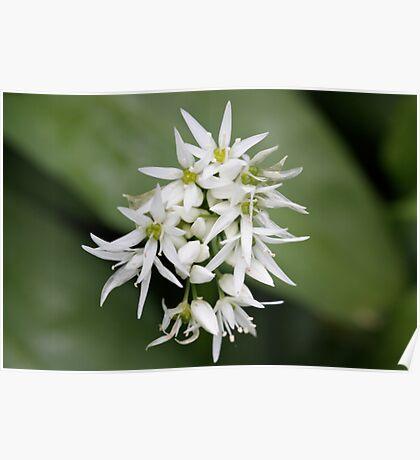 Sweet flower, strong odour. Poster