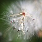 Dandelion by MiloAddict