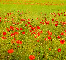 Just Poppies? by HAPhotography
