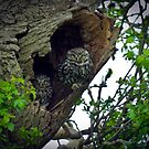 Little Owls on the nest by GrahamCSmith