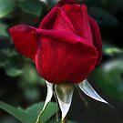 Red Rosebud by heatherfriedman