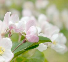 Soft freshness of apple blossom by steppeland