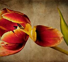 Tulip by ArtPhotoAstrid