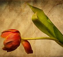 Red Tulip by ArtPhotoAstrid