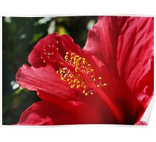Hibiscus on Madeira Poster