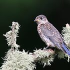 Eastern Bluebird Fledgling by Rob Lavoie
