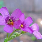 Rainbow Wings - Bee on Oxalis Flower by aprilann