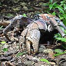 cocOnuT CRab by Mark  Wilson