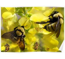 BUMBLE BEES AND HONEY BEES Poster