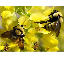 BUMBLE BEES AND HONEY BEES Photographic Print