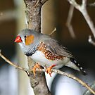 Zebra Finch by Heather King
