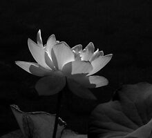 Lotus Blossom by Lee LaFontaine
