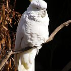 Sulphur-crested Cockatoo.  by Esther's Art and Photography