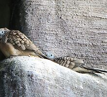 Zebra Doves by Heather King