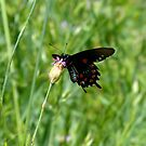 Pipevine Swallowtail (Battus philenor) - North Table Mountain, Butte County, CA by Rebel Kreklow