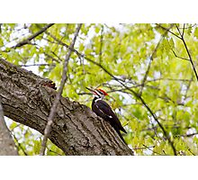 Pileated Wood Pecker Photographic Print