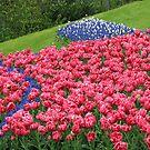 Hillside Tulip Display - Keukenhof Gardens by BlueMoonRose