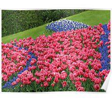 Hillside Tulip Display - Keukenhof Gardens Poster