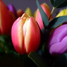 Tulips by Joyce Knorz