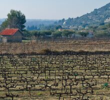 Beaume de Venise vines by Garry Roberts