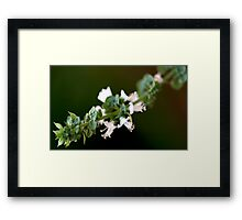From My Garden - Basil Blossoms Framed Print