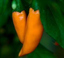 From My Garden - Hot Carrot Chilies by Sandra Chung