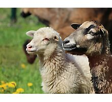 Spring Meadow & Sheep Photographic Print