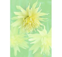 Double Daffodils Photographic Print