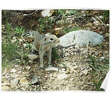 Spotted Ground Squirrel  Poster