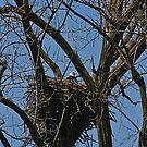 Bald Eagle Nesting by jules572