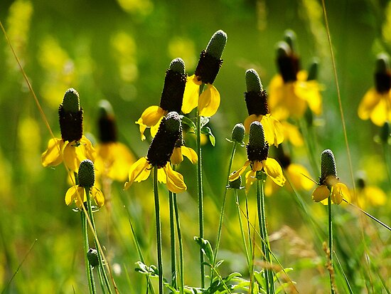 Yellow Prairie Coneflower - Ratibida columnaris by Digitalbcon