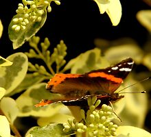 Flitting About - Red Admiral Butterfly by ctheworld